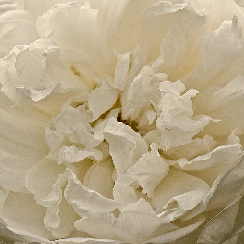 Debby Krim, Old English Rose Photograph